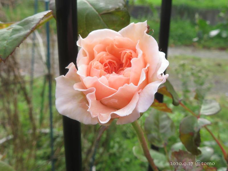 バラの季節再び_f0067179_13530006.jpg