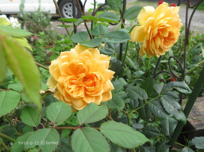 バラの季節再び_f0067179_13531057.jpg