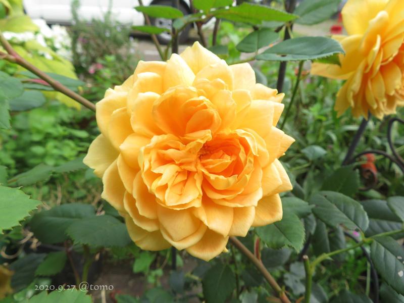 バラの季節再び_f0067179_13531772.jpg