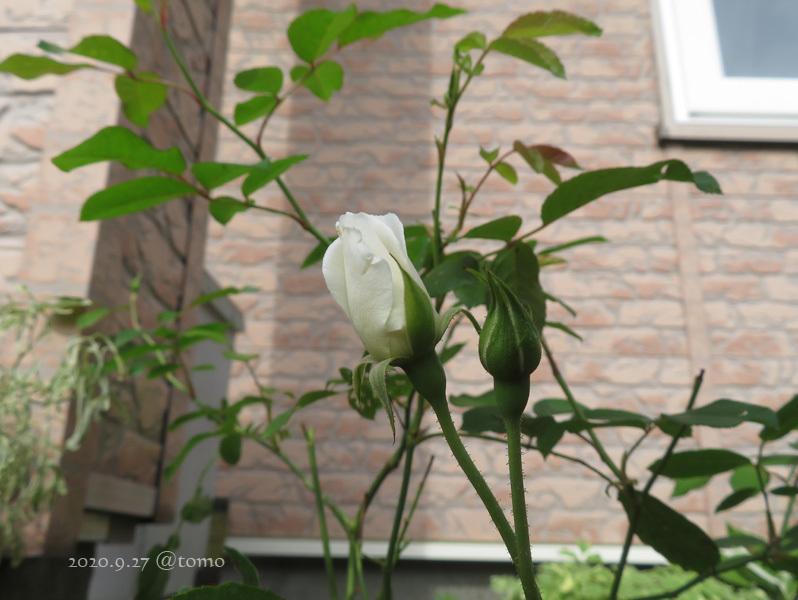 バラの季節再び_f0067179_13532761.jpg