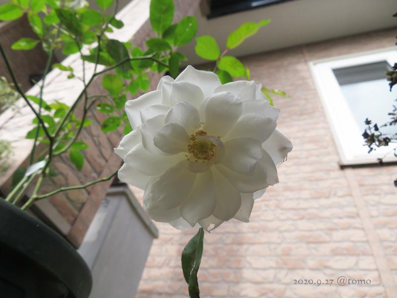バラの季節再び_f0067179_13533638.jpg