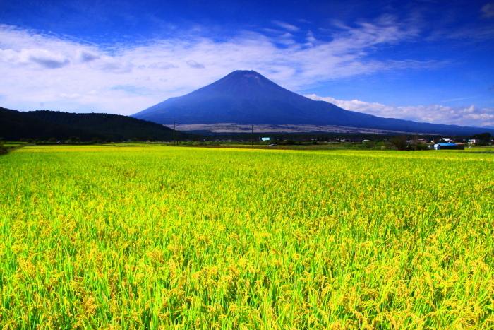 令和2年9月の富士(13) 忍野の田園の富士_e0344396_21032111.jpg