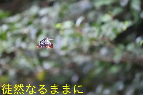 速報♪      我が街にアサギマダラ飛来^^/_d0285540_13532192.jpg