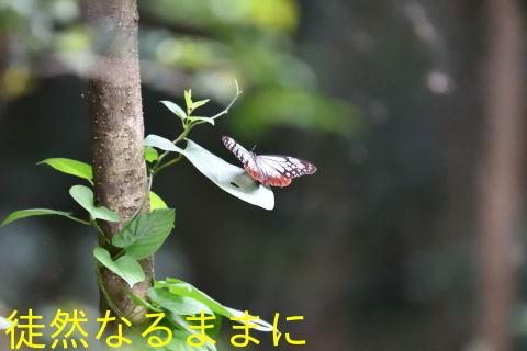 速報♪      我が街にアサギマダラ飛来^^/_d0285540_13540236.jpg