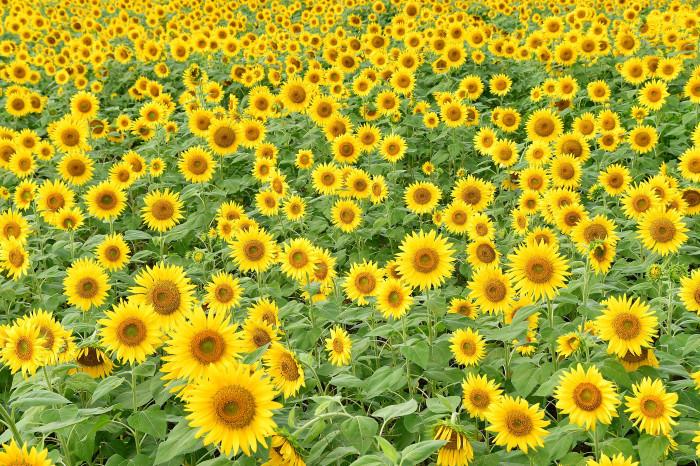 琵琶湖湖畔徘徊2020   えっ向日葵!!_f0374895_15402442.jpg