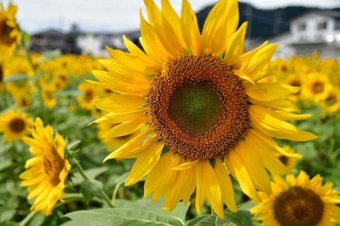 琵琶湖湖畔徘徊2020   えっ向日葵!!_f0374895_15430022.jpg