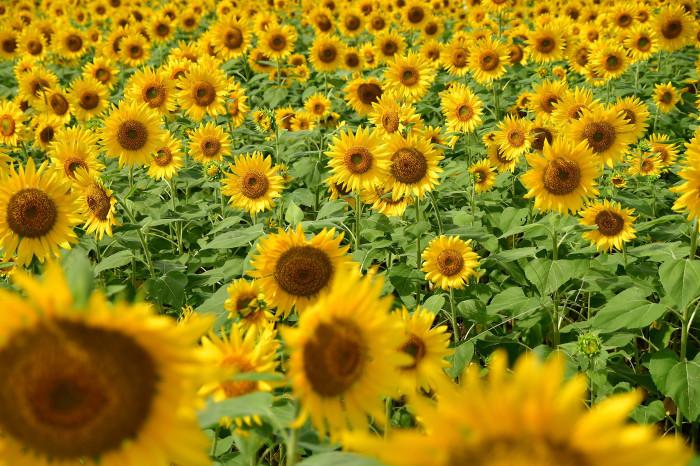 琵琶湖湖畔徘徊2020   えっ向日葵!!_f0374895_15432862.jpg