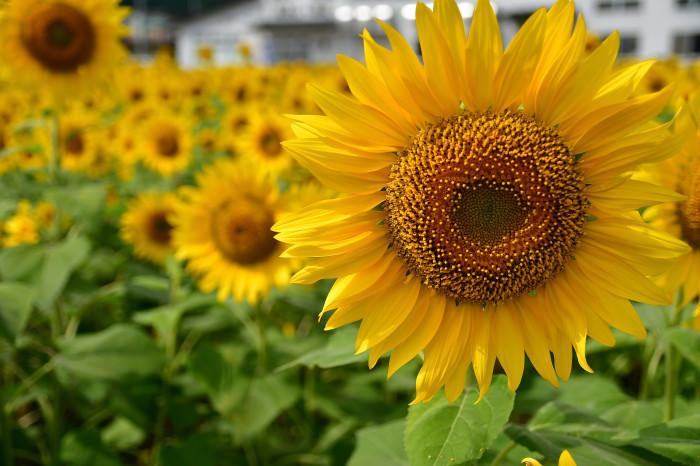 琵琶湖湖畔徘徊2020   えっ向日葵!!_f0374895_15442155.jpg