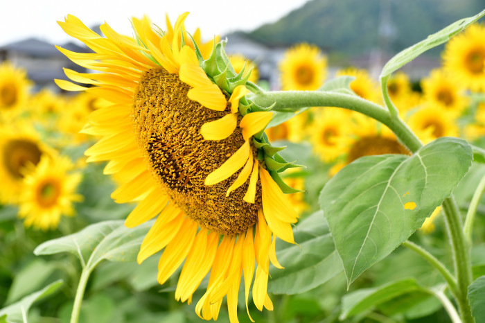 琵琶湖湖畔徘徊2020   えっ向日葵!!_f0374895_15482663.jpg