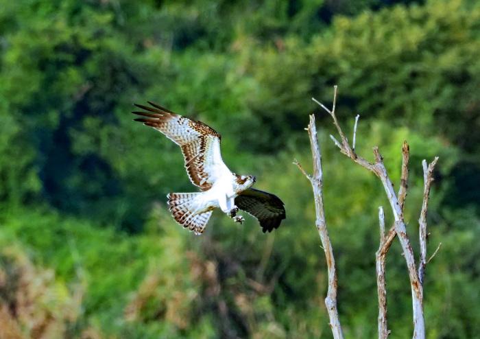 美しき湿原にミサゴがやって来た Ⅶ_d0290240_00242607.jpg
