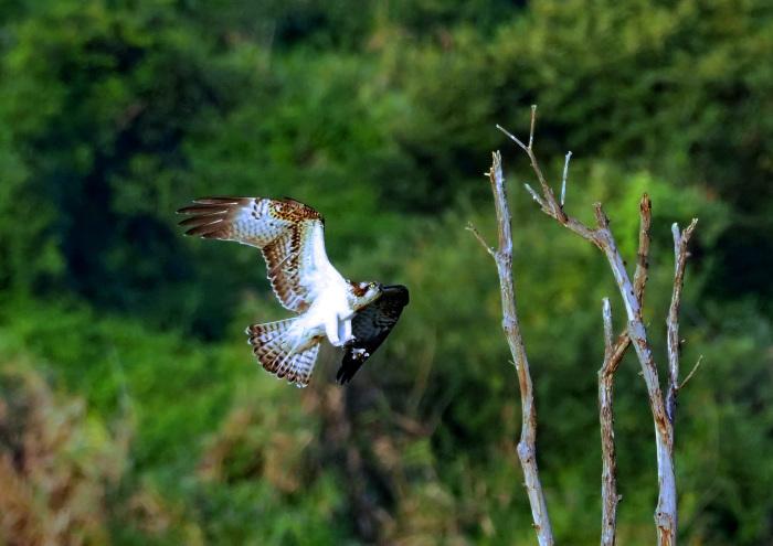 美しき湿原にミサゴがやって来た Ⅶ_d0290240_00242665.jpg