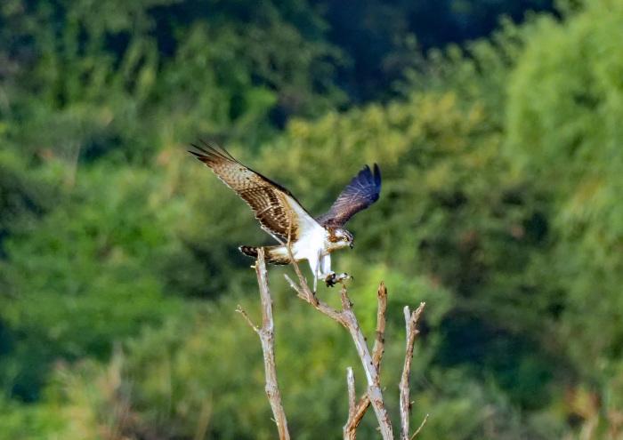 美しき湿原にミサゴがやって来た Ⅶ_d0290240_00242739.jpg