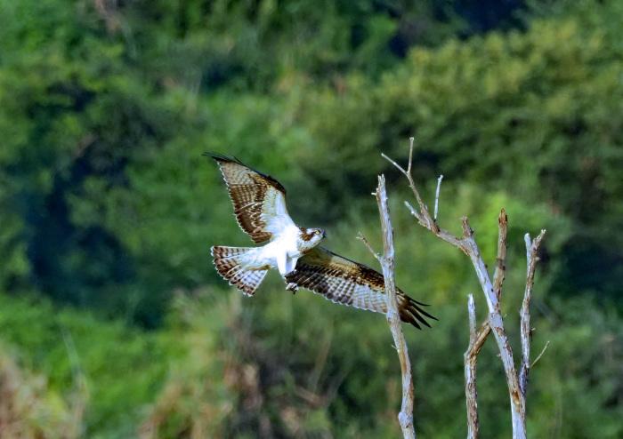 美しき湿原にミサゴがやって来た Ⅶ_d0290240_00242762.jpg