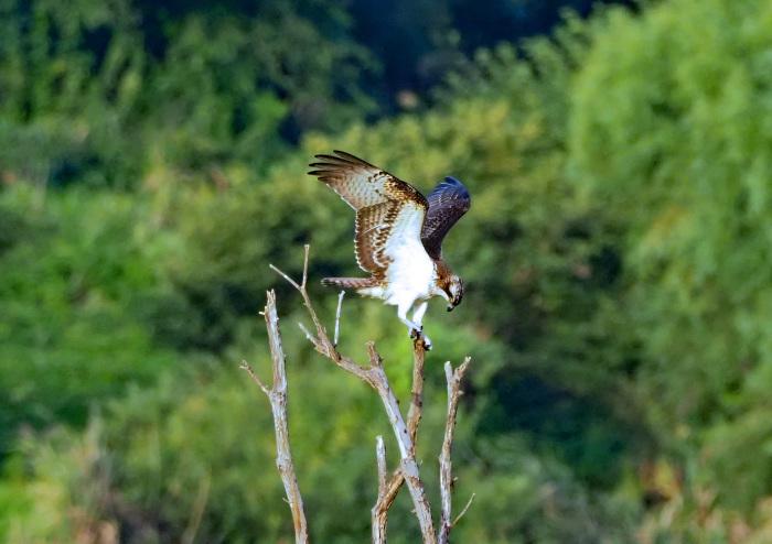 美しき湿原にミサゴがやって来た Ⅶ_d0290240_00242869.jpg