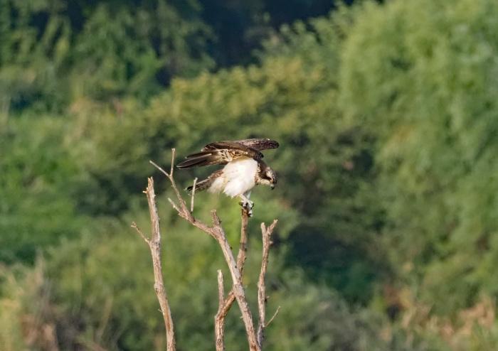 美しき湿原にミサゴがやって来た Ⅶ_d0290240_00242916.jpg