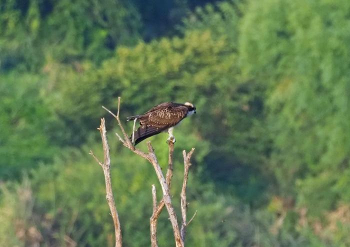 美しき湿原にミサゴがやって来た Ⅷ_d0290240_00264695.jpg