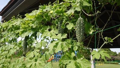 緑のカーテン(ゴーヤ)栽培実験R2.9.30_d0338682_09524209.jpg