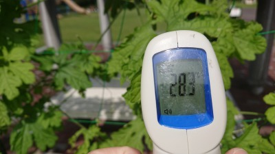 緑のカーテン(ゴーヤ)栽培実験R2.9.30_d0338682_10052066.jpg