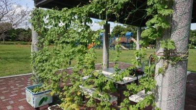 緑のカーテン(ゴーヤ)栽培実験R2.9.30_d0338682_10113730.jpg
