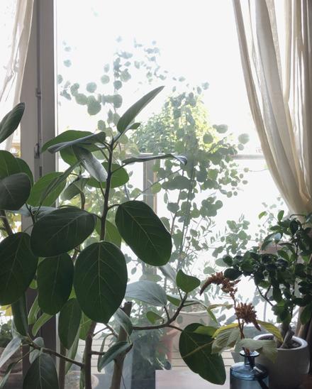 ゴムの木とベランダのユーカリ_b0183404_15281675.jpg