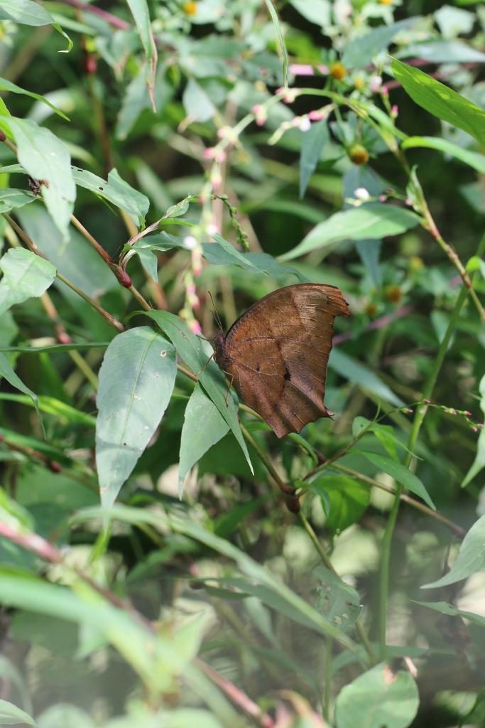 羽化直のクロコノマチョウの開翅_e0224357_21354646.jpg