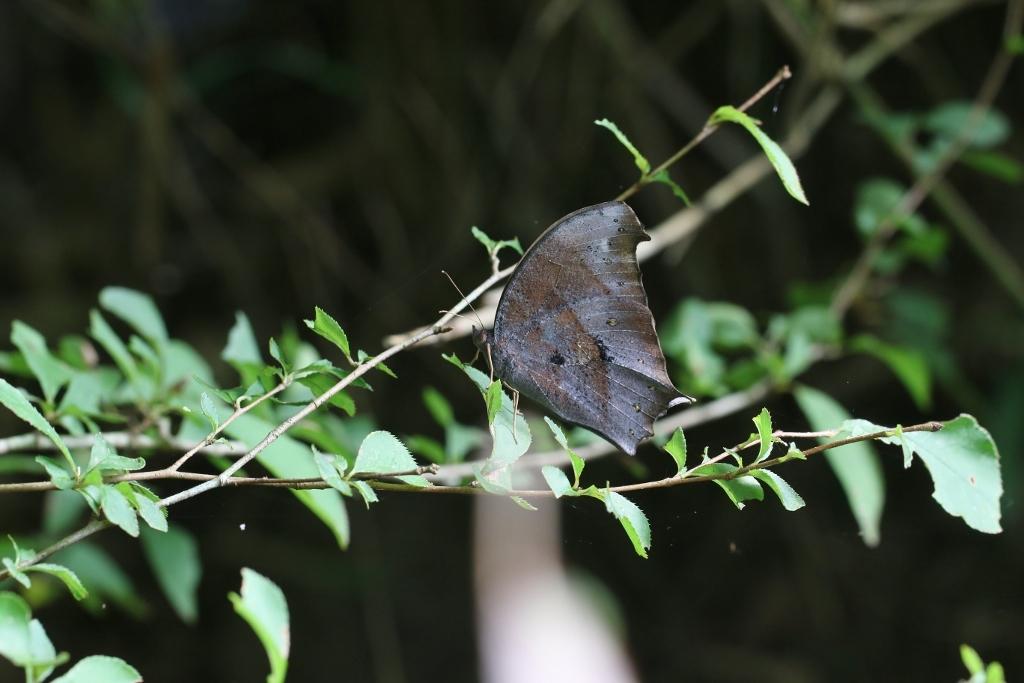 羽化直のクロコノマチョウの開翅_e0224357_21365541.jpg