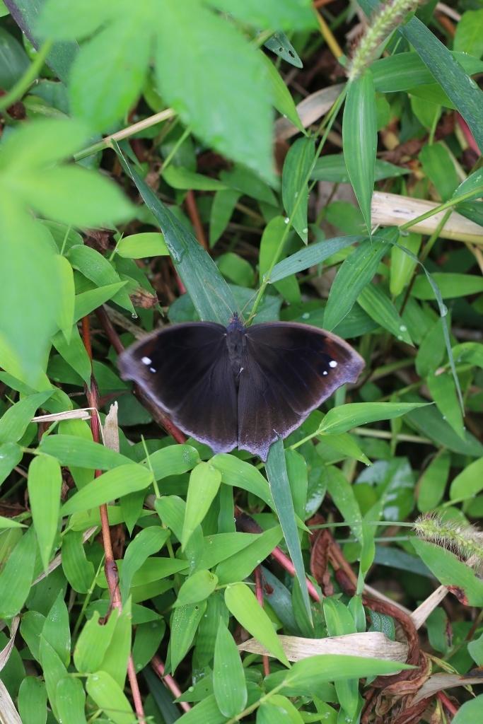 羽化直のクロコノマチョウの開翅_e0224357_21392879.jpg