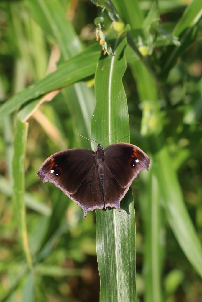 羽化直のクロコノマチョウの開翅_e0224357_21401180.jpg