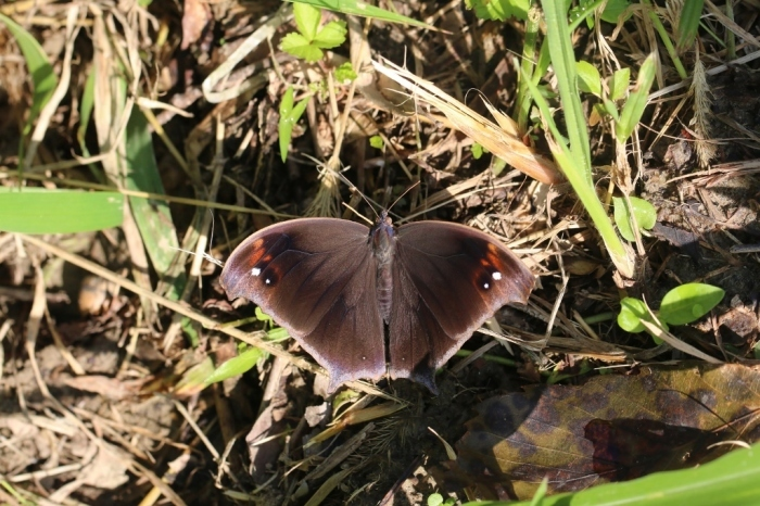 羽化直のクロコノマチョウの開翅_e0224357_21404285.jpg
