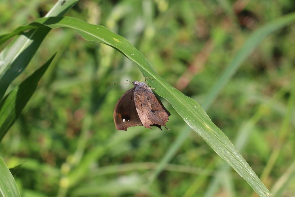 羽化直のクロコノマチョウの開翅_e0224357_21414602.jpg