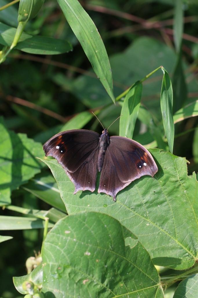 羽化直のクロコノマチョウの開翅_e0224357_21421369.jpg