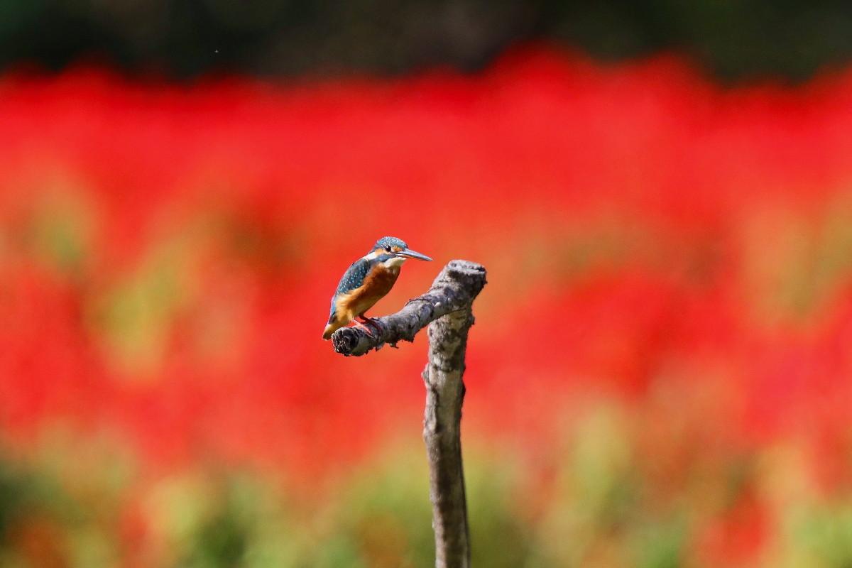 赤い花とカワセミ_e0071967_16551126.jpg