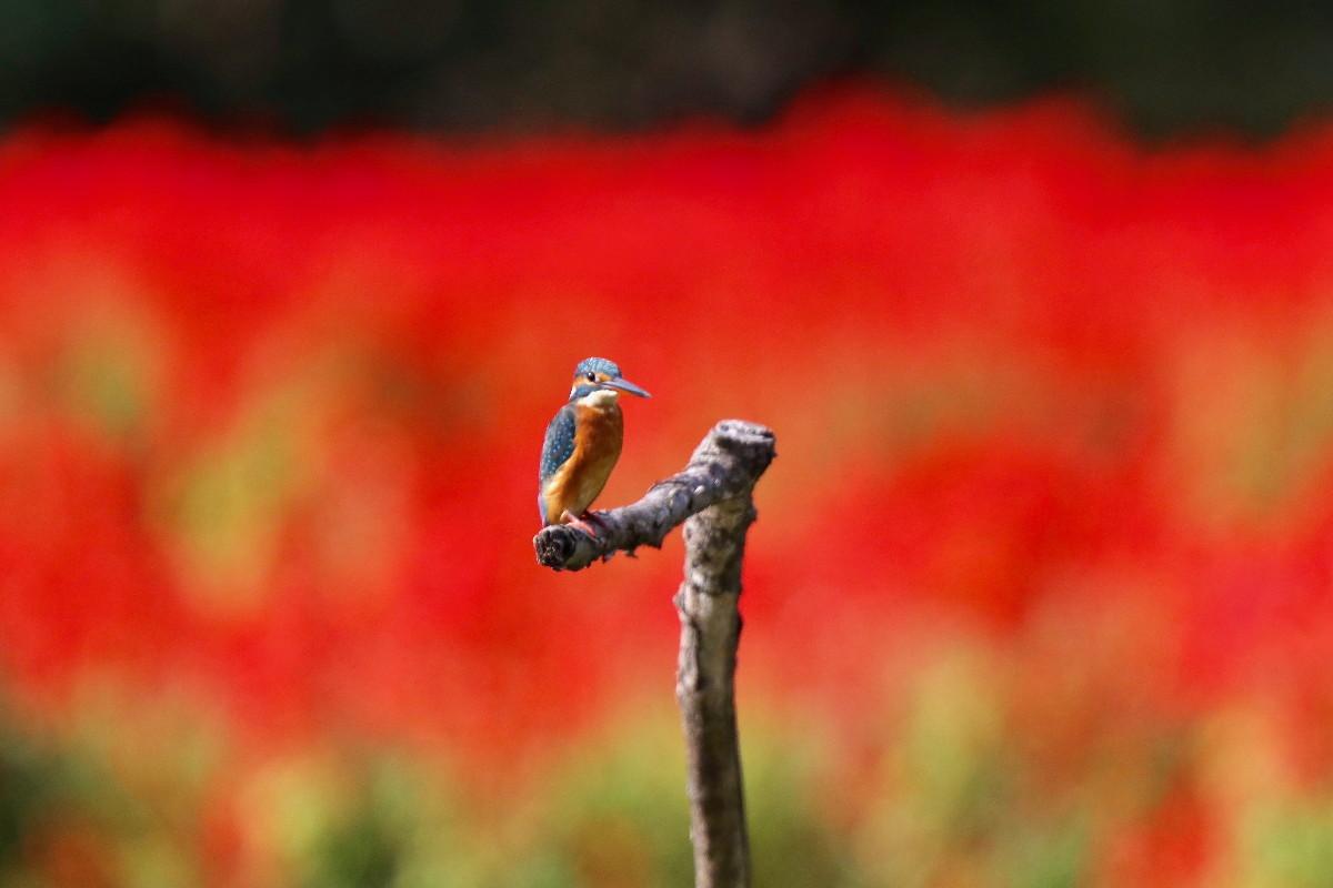 赤い花とカワセミ_e0071967_16552450.jpg