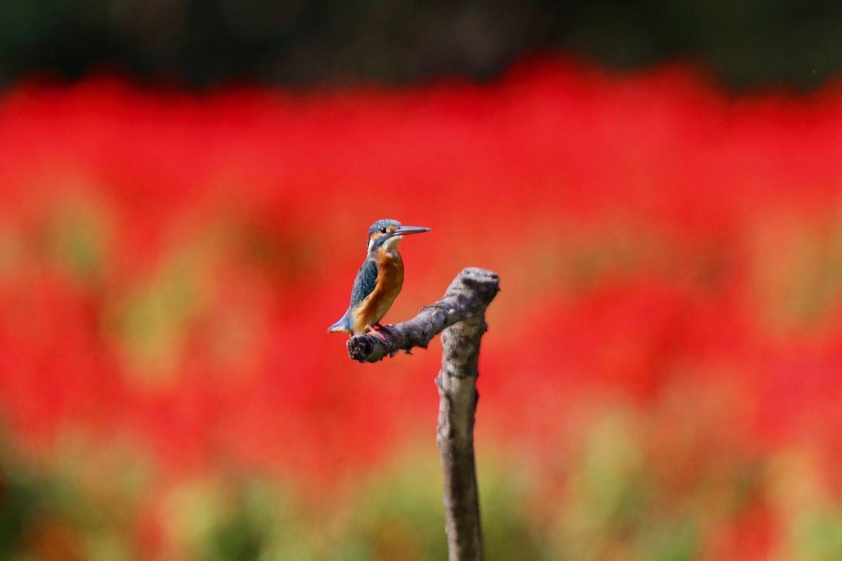 赤い花とカワセミ_e0071967_16552771.jpg