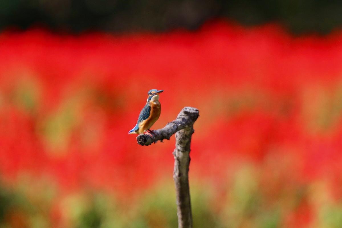 赤い花とカワセミ_e0071967_16553037.jpg