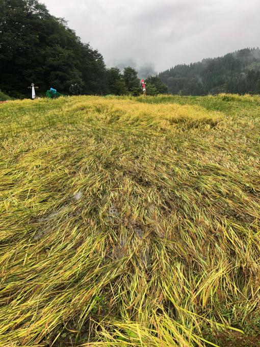 コイの田んぼの稲刈り2020_d0182179_19594499.jpg
