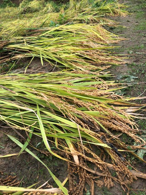 コイの田んぼの稲刈り2020_d0182179_20054237.jpg