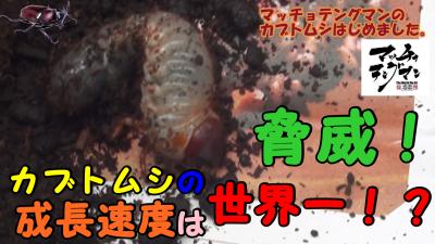 マッチョテングマンのカブトムシはじめました。 【脅威!カブトムシの成長速度は世界一!?】んの巻_f0236990_22482400.png