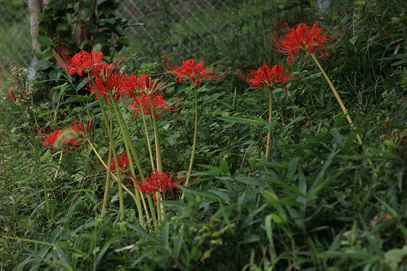 恵心院の彼岸花と秋の花々_f0155048_23425603.jpg