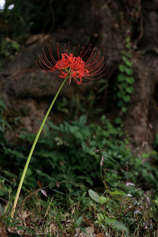 恵心院の彼岸花と秋の花々_f0155048_23430719.jpg