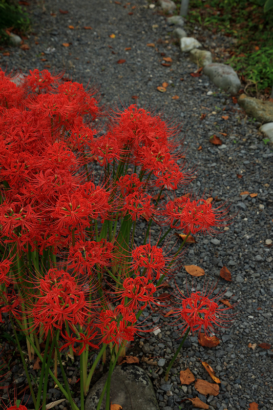 恵心院の彼岸花と秋の花々_f0155048_23442044.jpg