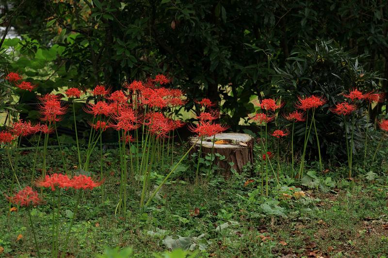 恵心院の彼岸花と秋の花々_f0155048_23443983.jpg