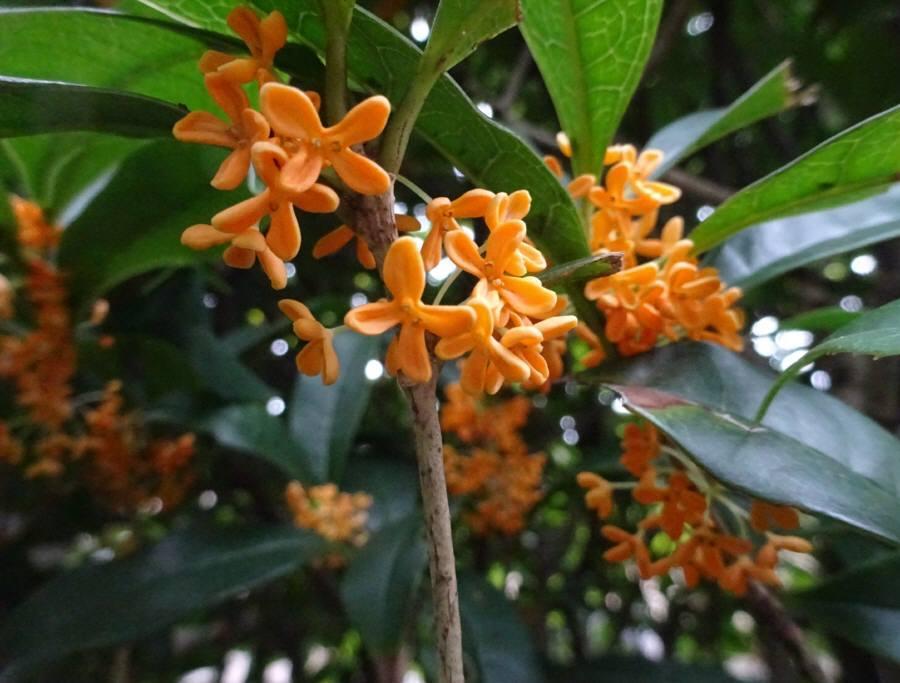 庭の花 秋その4 キンモクセイ_f0059673_17040223.jpg
