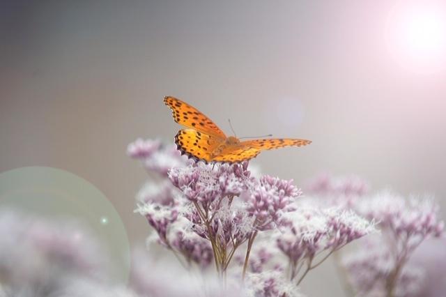 フジバカマと蝶々_c0155906_13130915.jpeg