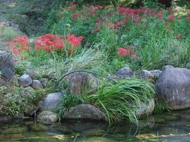 産田川の彼岸花(その1)(撮影:10月2日)_e0321325_18414991.jpg
