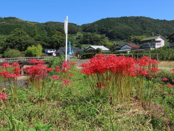 産田川の彼岸花(その2)(撮影:10月2日)_e0321325_19014297.jpg