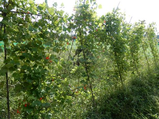自然農の畑 9月中旬~10月上旬_d0366590_10573516.jpg