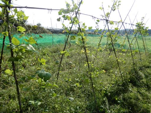 自然農の畑 9月中旬~10月上旬_d0366590_10573542.jpg