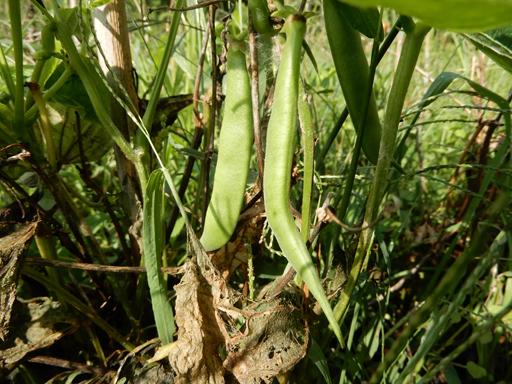 自然農の畑 9月中旬~10月上旬_d0366590_11054206.jpg