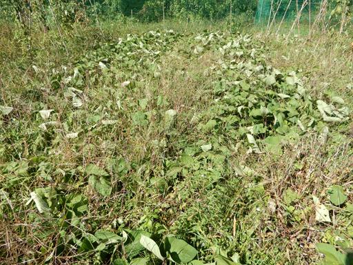 自然農の畑 9月中旬~10月上旬_d0366590_11113880.jpg